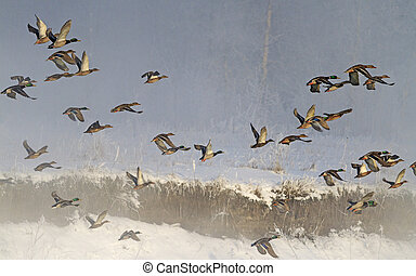 flock of wild ducks flying in fog