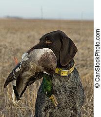 Hunting Mallard Ducks