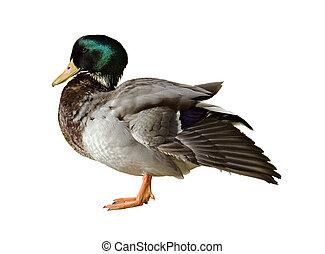 Mallard - Male mallard duck isolated on a white background