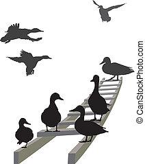 Mallard on a ladder