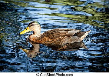 mallard on a lake