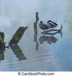 Mallard paar sitting in the pond on a tree