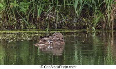Mallard resting on the water