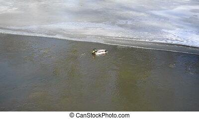mallard swim river winter