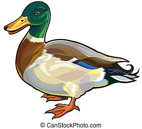 mallard wild duck male,side view picture isolated on white...