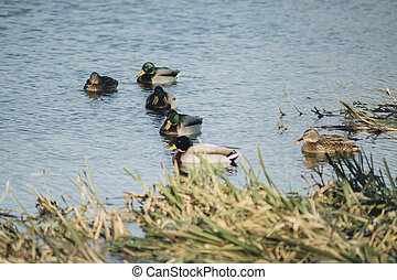 mallard wild ducks swimming in a river