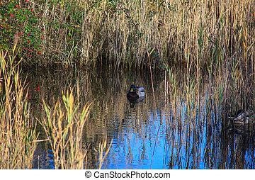 Mallards in the lagoon