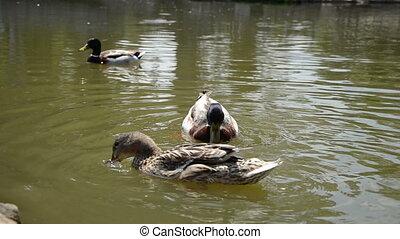 Mallards in the lake