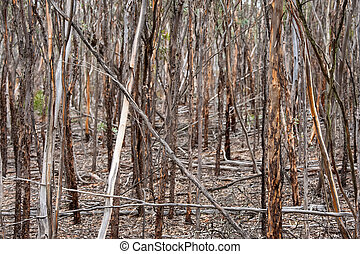 Close growing trunks of Mallet saplings with flakey bark, dead and fallen trees at all angles