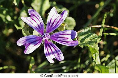 Mallow flower close up