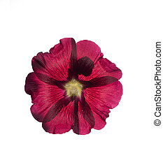 Mallow flower isolated on white background.