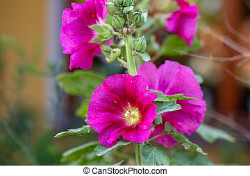 Mallow flowers, a herbaceous plant with hairy stems, pink or...