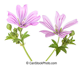Mallow flowers with leaves and buds isolated on white
