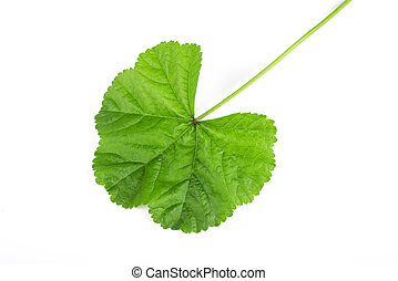 mallow leaf isolated on white background