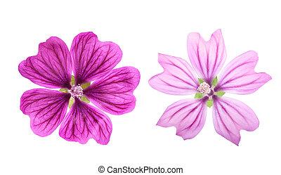Mallow (Malva Sylvestris) - Common Mallow flower (Malva ...