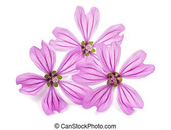 Mallow (Malva Sylvestris) - mallow flowers isolated on white...