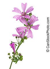 Mallow  (Malva Sylvestris) - mallow flowers isolated  on ...