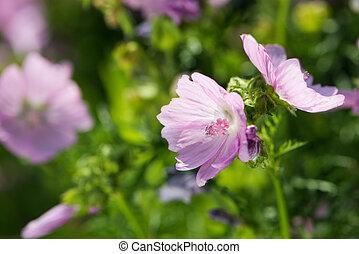 Pink mallow in a garden