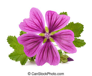 Mallow plant with flower isolated on white background
