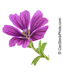 Mallow plant with flower isolated on white