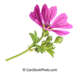 Mallow plant with flower - Mallow flower with leaves and ...