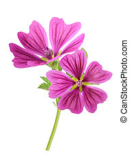Mallow plant with flowers isolated on white background