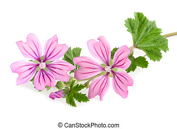 mallow sprig with leaves and flowers isolated