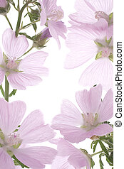 Studio Shot of Lilac Colored Mallow on White Background. Large Depth of Field (DOF). Macro.