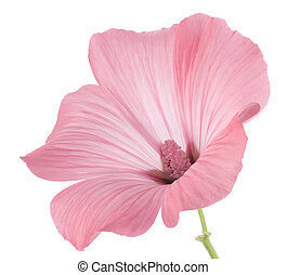 mallow - Studio Shot of Pink Colored Mallow Isolated on ...