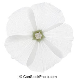 mallow - Studio Shot of White Colored Mallow Isolated on ...