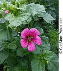 Malope Purpurea is a genus of three species in the mallow botanical family Malvaceae.