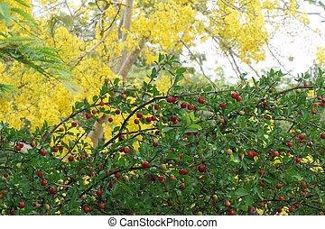 Malpighia emarginata tree in the tropical garden