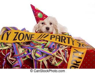 maltés, perro, con, sombrero del partido, con, fondo blanco