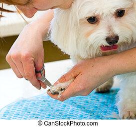 maltés, preparación, perro