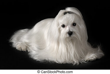 maltés, retrato, perro