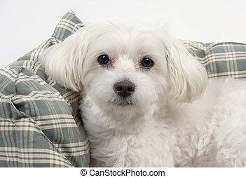 maltees, dog
