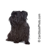 maltees, gemengd, black , ras, puppy