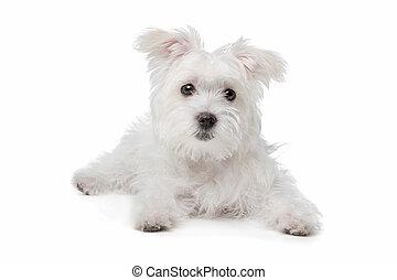 maltees, malen, vermalen, dog