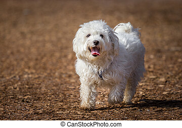 Maltese - A snow white maltese on a brown path running loose...