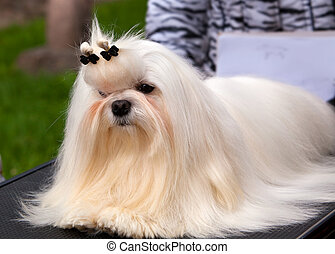 Maltese at an exhibition of dogs