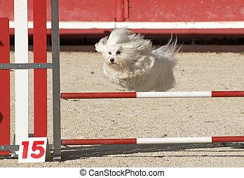maltese dog in agility - beautiful purebred maltese dog ...