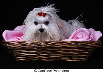 Maltese Dog in basket