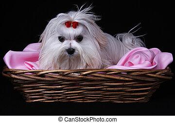 Maltese Dog in basket