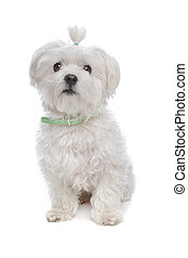 Maltese dog in front of a white background