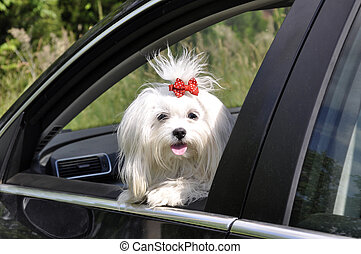 Maltese dog in the car looking out the window