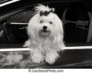 Maltese dog in the car looking out the window,.black and white image.