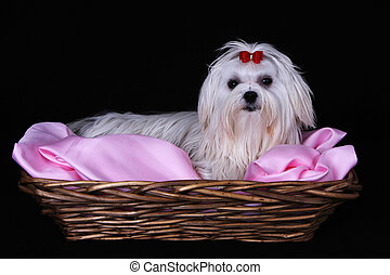 Maltese Dog in wicker basket
