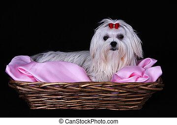 Maltese Dog in wicker basket