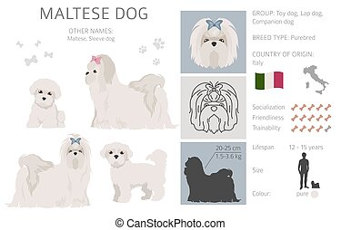 Maltese dog isolated on white. Characteristic, color varieties, temperament info. Dogs infographic collection