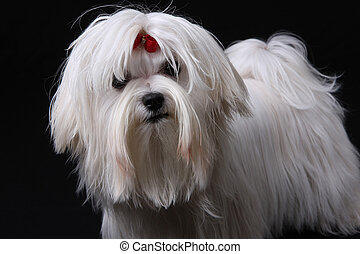 Maltese Dog on black